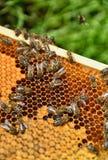 Abejas en los panales Concepto de la apicultura Foto de archivo libre de regalías