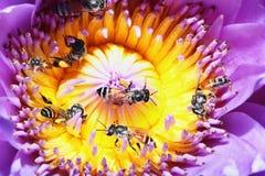 abejas en loto Fotos de archivo libres de regalías