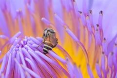 abejas en loto Imagen de archivo libre de regalías