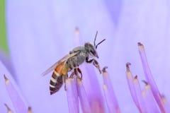 abejas en loto Foto de archivo libre de regalías