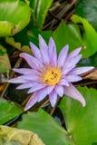 Abejas en Lotus Flower Fotografía de archivo