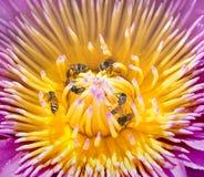 Abejas en Lotus Flower Fotografía de archivo libre de regalías