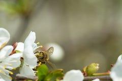 Abejas en manzana de las flores Fotos de archivo