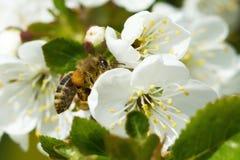 Abejas en manzana de las flores Foto de archivo libre de regalías