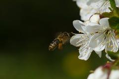 Abejas en manzana de las flores Imágenes de archivo libres de regalías