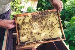 Abejas en marco con la miel Imagen de archivo libre de regalías