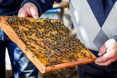 Abejas en marco del panal El trabajo del apicultor en apiary_ Imagen de archivo