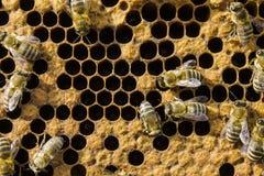 Abejas en marco del panal, insectos de los panales Foto de archivo