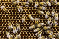Abejas en marco del panal, insectos de los panales Fotografía de archivo