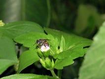 Abejas en naturaleza y flores Imagen de archivo libre de regalías
