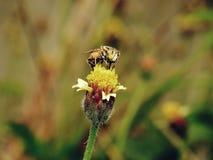 Abejas en naturaleza y flores Fotografía de archivo
