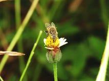Abejas en naturaleza y flores Foto de archivo