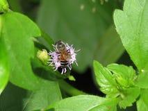 Abejas en naturaleza y flores Fotografía de archivo libre de regalías