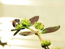 Abejas en naturaleza y flores Imágenes de archivo libres de regalías