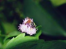 Abejas en naturaleza y flores Foto de archivo libre de regalías