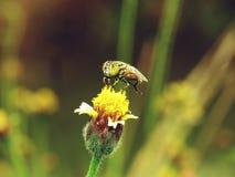 Abejas en naturaleza y flores Imagenes de archivo