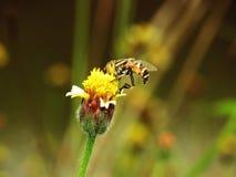 Abejas en naturaleza y flores Fotos de archivo