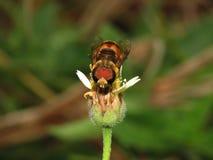 Abejas en naturaleza y flores Fotos de archivo libres de regalías