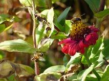 Abejas en otoño Imagen de archivo libre de regalías