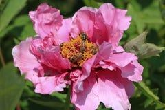 Abejas en peonía de la flor Fotografía de archivo