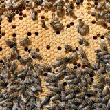 Abejas en primer de la colmena de la abeja Imagen de archivo