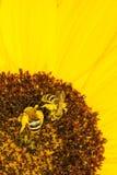 Abejas en un girasol Foto de archivo libre de regalías