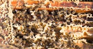 Abejas en un marco con la miel en el colmenar Fotografía de archivo libre de regalías