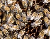 Abejas en un marco con la miel en el colmenar Imágenes de archivo libres de regalías