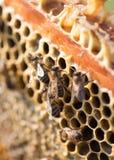 Abejas en un marco con la miel en el colmenar Imagenes de archivo