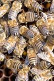 Abejas en un marco con la miel en el colmenar Fotografía de archivo