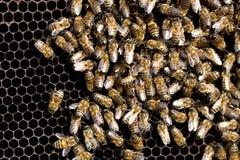 Abejas en un marco con la miel en el colmenar Foto de archivo libre de regalías