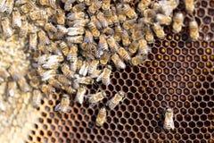 Abejas en un marco con la miel en el colmenar Foto de archivo
