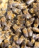 Abejas en un marco con la miel en el colmenar Fotos de archivo libres de regalías