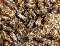 Abejas en un marco con la miel en el colmenar Imagen de archivo