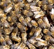 Abejas en un marco con la miel en el colmenar Fotos de archivo