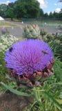 Abejas en una alcachofa floreciente Foto de archivo libre de regalías