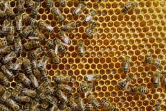 Abejas en una célula del panal Miel fresca Imagen de archivo