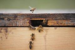 Abejas en una caja de la abeja Foto de archivo