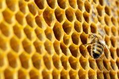 Abejas en una colmena en el panal con el copyspace La abeja da vuelta al néctar en la miel fresca y sana Concepto de apicultura Imágenes de archivo libres de regalías