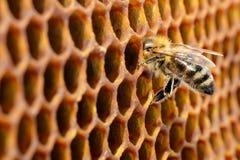 Abejas en una colmena en el panal con el copyspace La abeja da vuelta al néctar en la miel fresca y sana Concepto de apicultura Foto de archivo libre de regalías