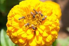 Abejas en una flor Imagen de archivo