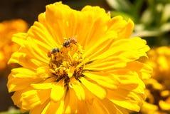 Abejas en una flor Fotos de archivo libres de regalías