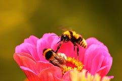 Abejas en una flor Fotos de archivo