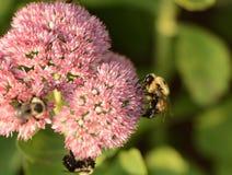 Abejas en una flor Foto de archivo libre de regalías