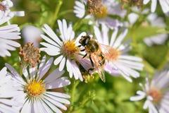 Abejas en una flor Fotografía de archivo libre de regalías