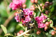 Abejas en una flor Imagen de archivo libre de regalías