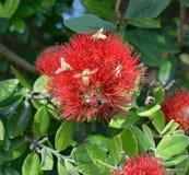 Abejas en una flor de Pohutukawa, Nueva Zelanda Imágenes de archivo libres de regalías