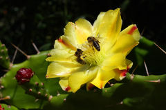 Abejas en una floración del cactus Fotos de archivo