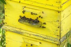 Abejas europeas de la miel que pululan en una colmena Imagen de archivo libre de regalías