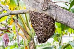 Abejas gigantes de la miel Imagen de archivo libre de regalías